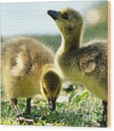 Goslings 6 Wood Print
