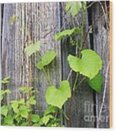 Grape Vines On An Old Barn Wood Print