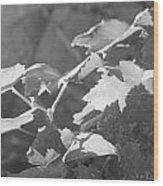 Grapevine In Morning Light Wood Print