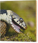 Grass Snake Feigning Death Wood Print