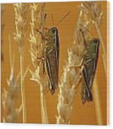 Grasshoppers On Wheat, Treherne Wood Print