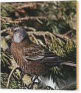 Gray-crowned Rosy Finch Wood Print