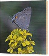 Gray Hairstreak Butterfly Din044 Wood Print