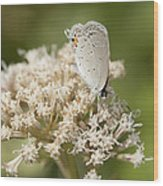 Gray Hairstreak Butterfly On Milkweed Wildflowers Wood Print
