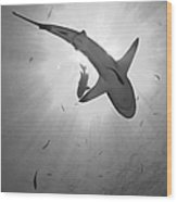 Gray Reef Shark, Kimbe Bay, Papua New Wood Print