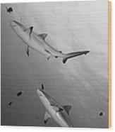 Gray Reef Sharks. Papua New Guinea Wood Print