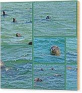 Gray Seals At Chatham - Cape Cod Wood Print