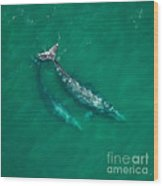 Gray Whale Mother And One-year-old Calf Wood Print