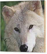 Gray Wolf Face Wood Print