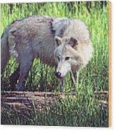 Gray Wolf Watching Wood Print