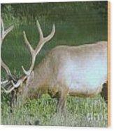 Grazing Bull Elk  Wood Print