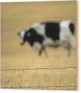 Grazing Cow, Alberta, Canada Wood Print
