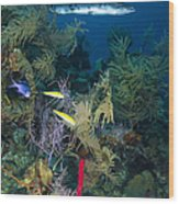 Great Barracuda, Belize Wood Print