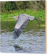 Great Blue Heron Inflight Wood Print