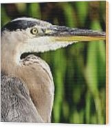 Great Blue Heron Portrait Wood Print