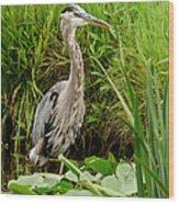 Great Blue Heron Walking Wood Print