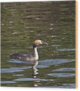 Great Crested Grebe With Breakfast Wood Print