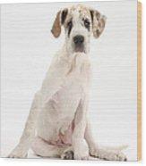 Great Dane Pup Wood Print