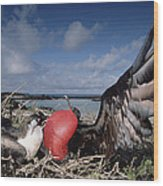 Great Frigatebirds Courting Wood Print
