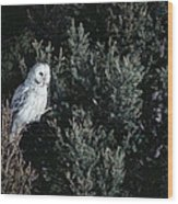 Great Gray Owl Strix Nebulosa In Blonde Wood Print