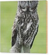 Great Grey Owl, Water Valley, Alberta Wood Print