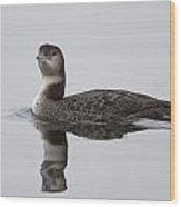Great Northern Diver Wood Print