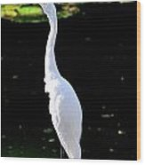 Great White Egret Singing In The Morning Light Wood Print