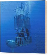 Great White Shark And Divers, Guadalupe Wood Print