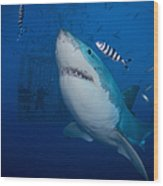 Great White Shark And Pilot Fish Wood Print