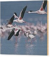 Greater Flamingos In Flight Over Lake Wood Print