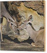 Greater Kudu Affection Wood Print