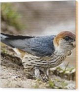 Greater Striped Swallow Wood Print by Peter Chadwick