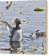 Grebe With Babies Wood Print