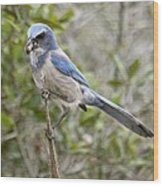 Greedy Florida Scrubjay Wood Print