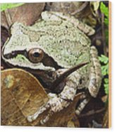 Green And Brown Frog Wood Print