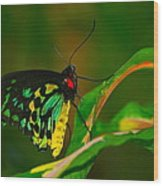 Green Butterfly Wood Print