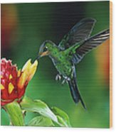 Green Crowned Brilliant Hummingbird Wood Print