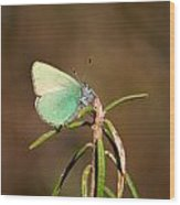 Green Hairstreak Wood Print