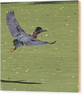 Green Heron In Flight Wood Print