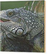 Green Iguana Barro Colorado Island Wood Print