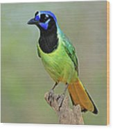 Green Jay Wood Print