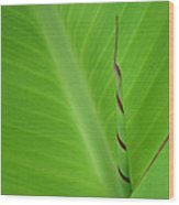 Green Leaf With Spiral New Growth Wood Print