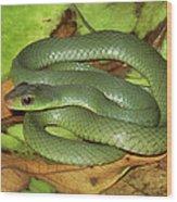 Green Racer Drymobius Melanotropis Amid Wood Print