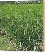 Green Rice Field In Taiwan Wood Print