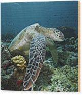 Green Sea Turtle Chelonia Mydas Wood Print