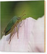 Green Shieldbug 2 Wood Print