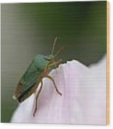 Green Shieldbug Wood Print