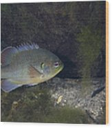 Green Sunfish Swimming Along The Rocky Wood Print