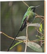 Green Tailed Trainbearer Wood Print