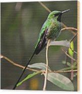 Green Tailed Trainbearer Hummingbird Stylized Wood Print